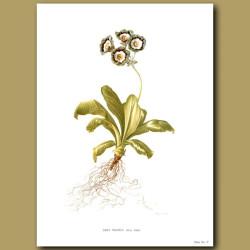 Auricula: Grey Mantle