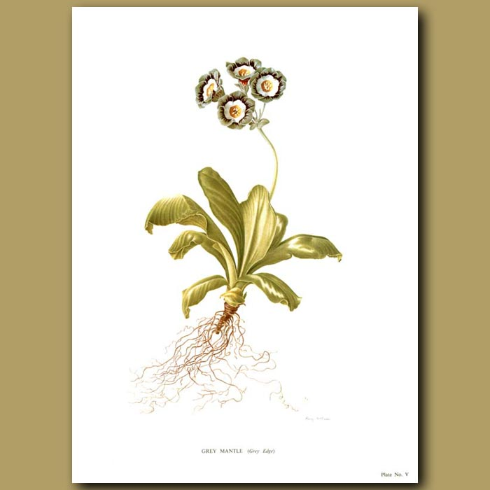 Antique print. Auricula: Grey Mantle