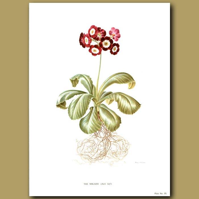 Antique print. Auricula: The Mikado