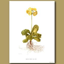 Auricula: Gold of Ophir