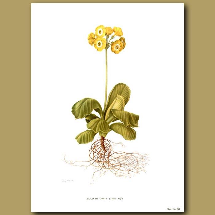 Antique print. Auricula: Gold of Ophir