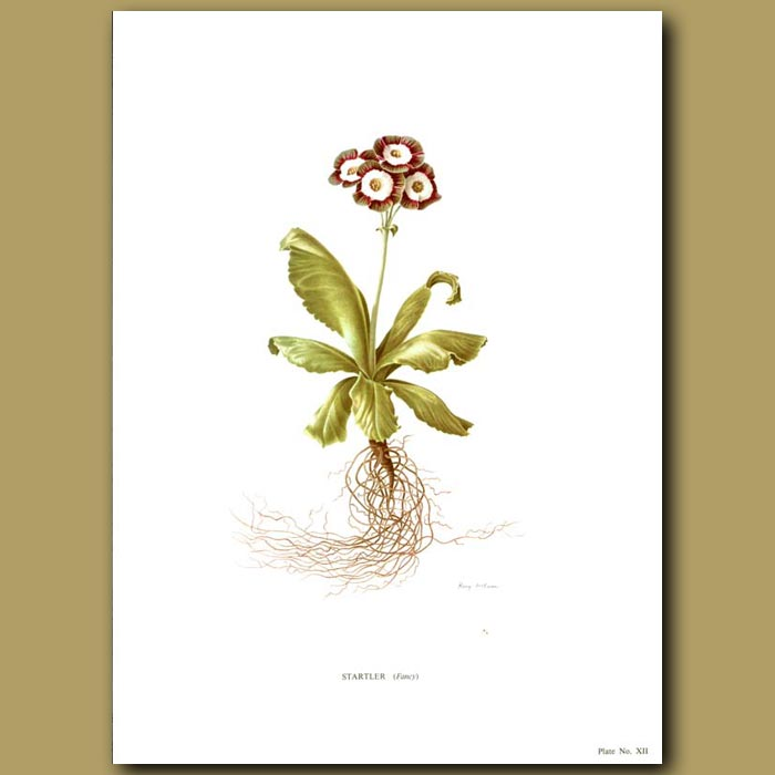 Antique print. Auricula: Startler