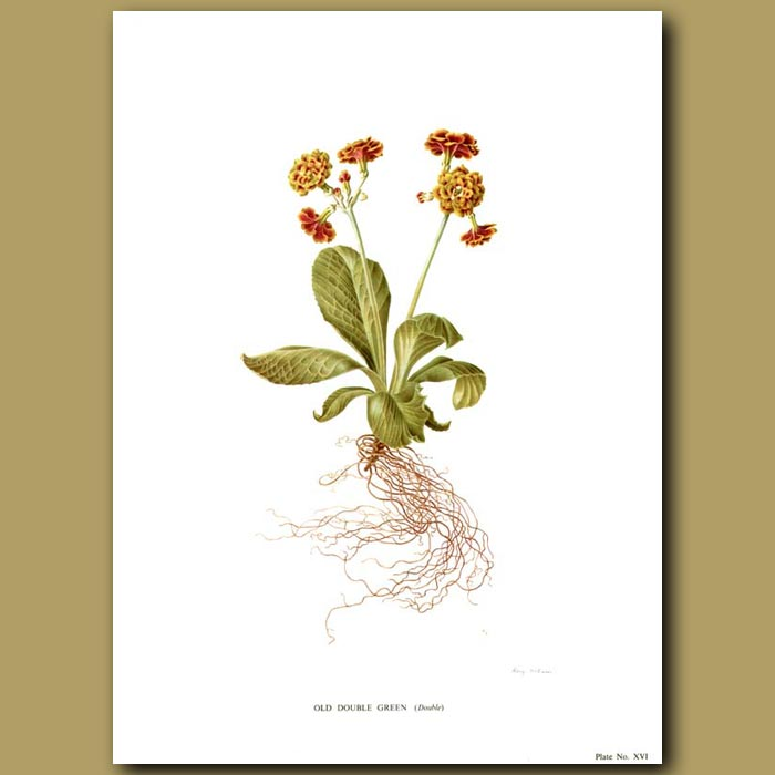 Antique print. Auricula: Old Double Green