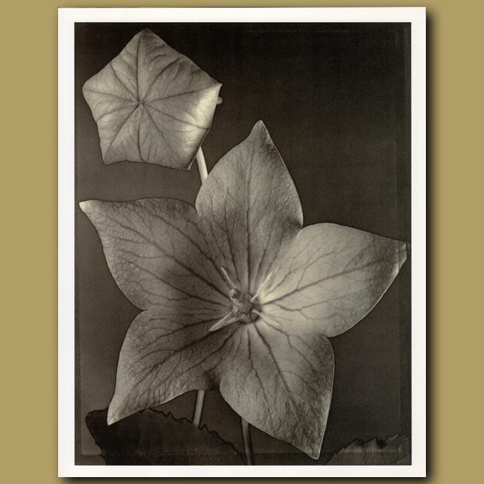 Antique print. Balloon Flower