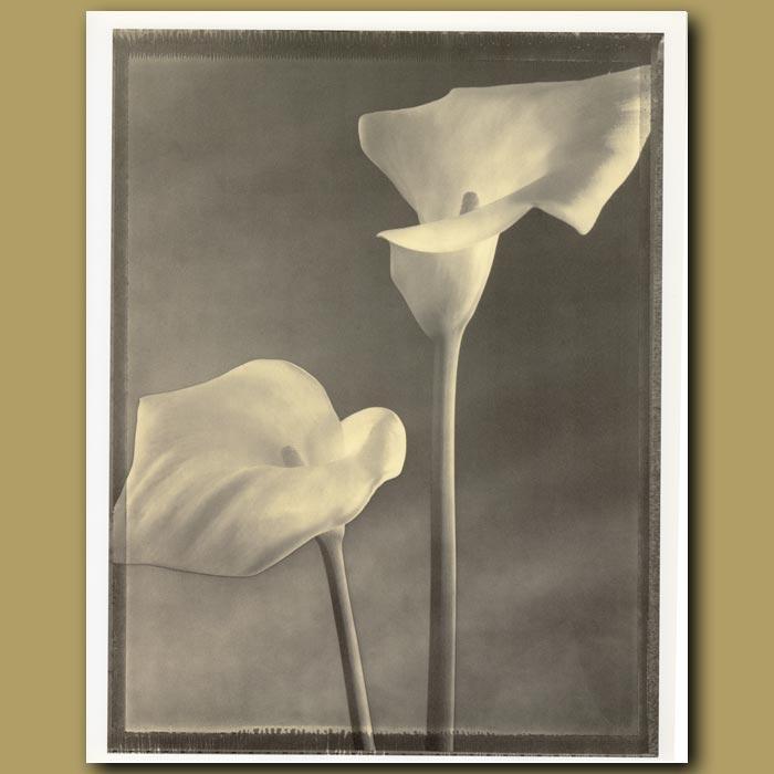 Antique print. Solarized Callas