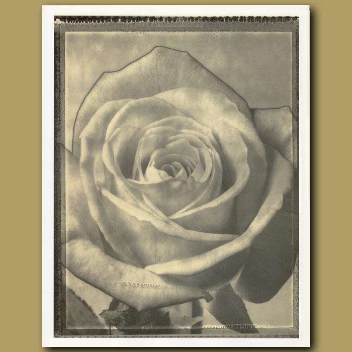 Antique print. Rose