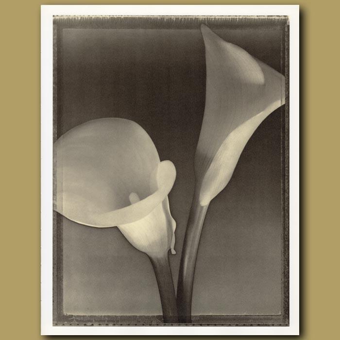 Antique print. Calla Lilies