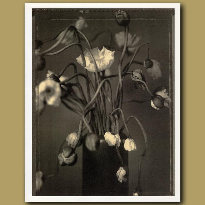 Antique print. Dead Poppies