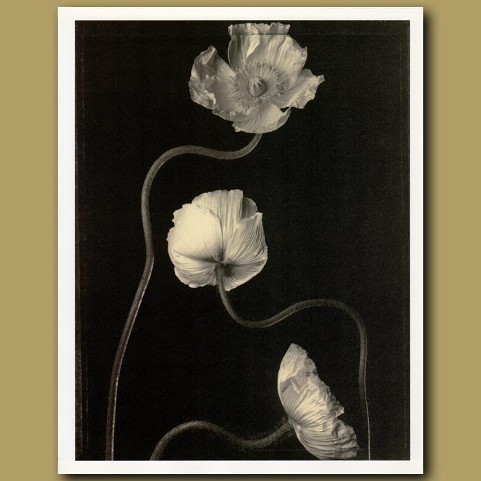 Antique print. Three Poppies