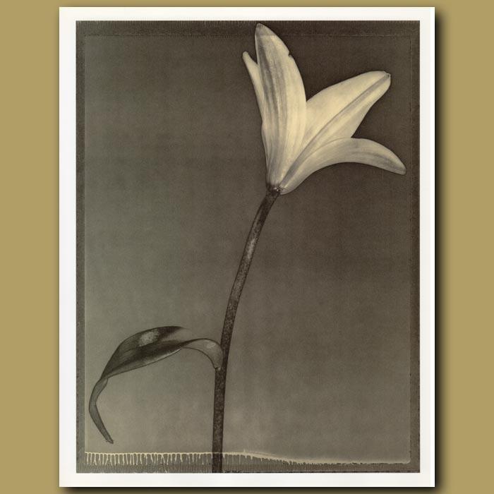 Antique print. Lily