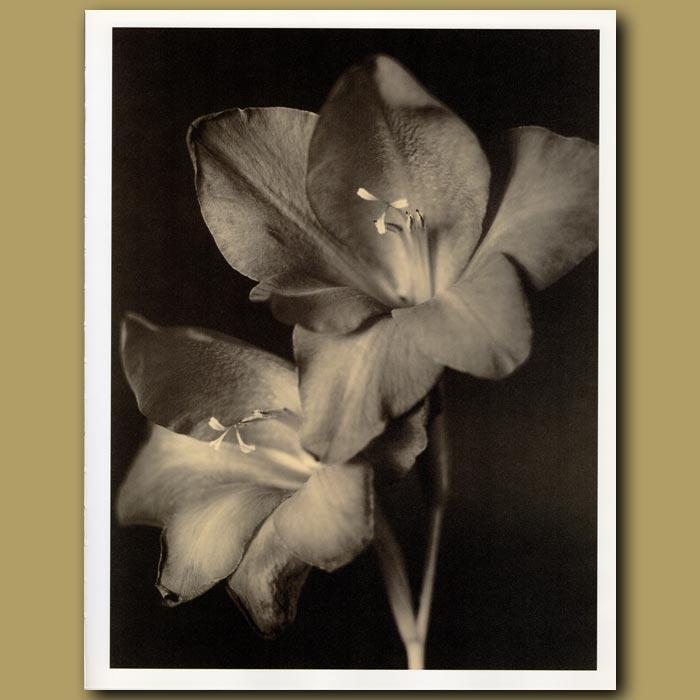 Antique print. Two Gladioli