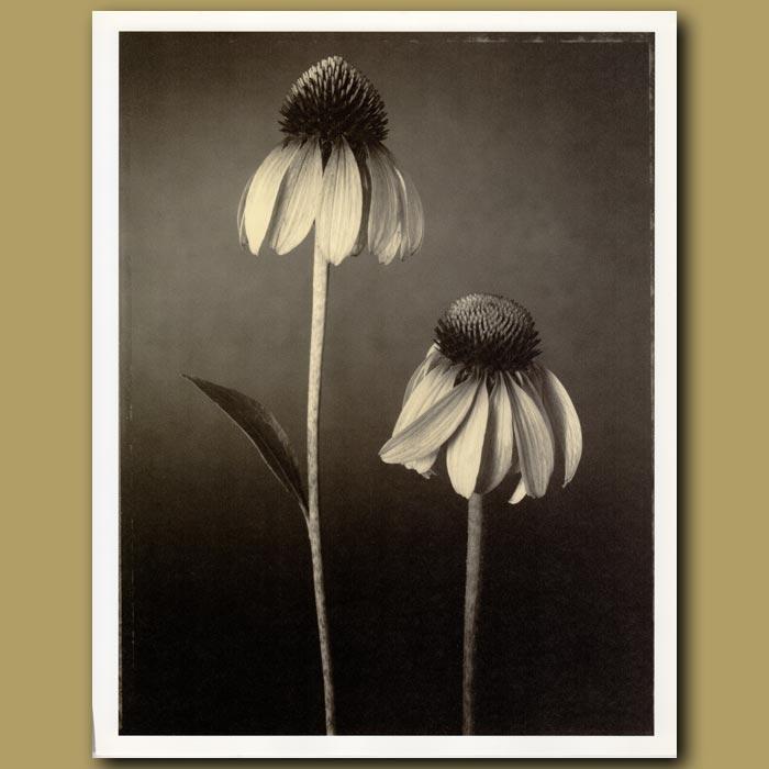 Antique print. Echinacea