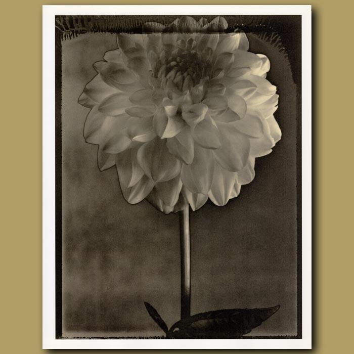 Antique print. Solarized Dahlia