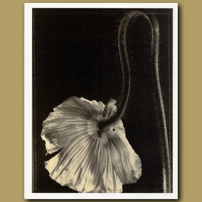 Antique print. Poppy