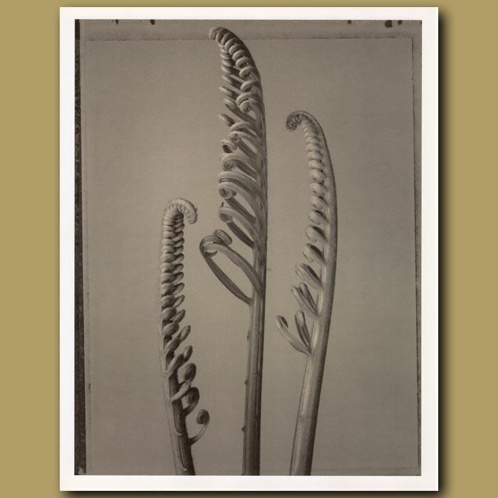 Antique print. Palm Fern