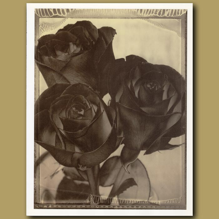 Antique print. Red Roses