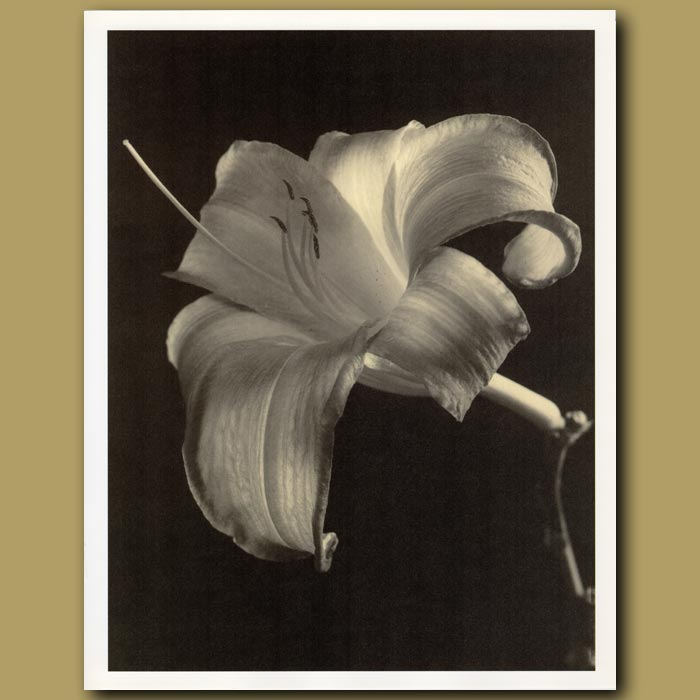 Antique print. Day Lily