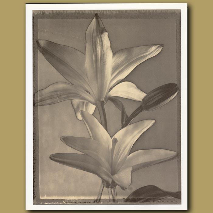 Antique print. Solarized Lilies