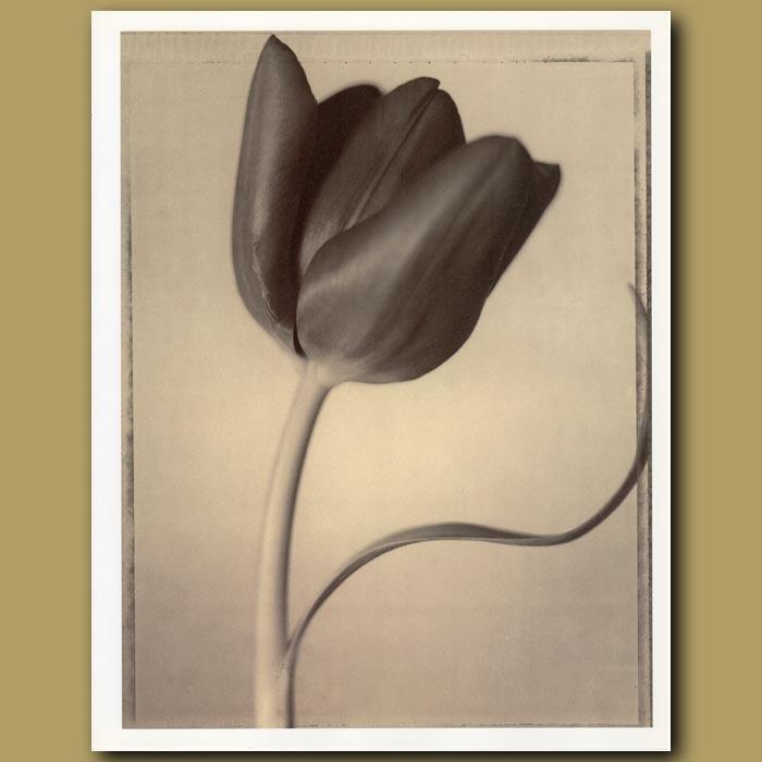 Antique print. Tulip