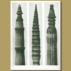 Equisetum Hiemale (12x), Maximum (4x), Heimale (18x)