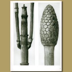 Equisetum Hiemale And Arvense (12x)