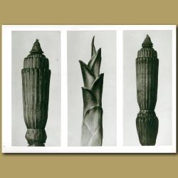 Equisetum Hiemale (12x And 12x), Hosta Japonica (4x)