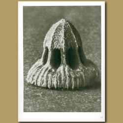 Callistemma Brachiatum (30x)