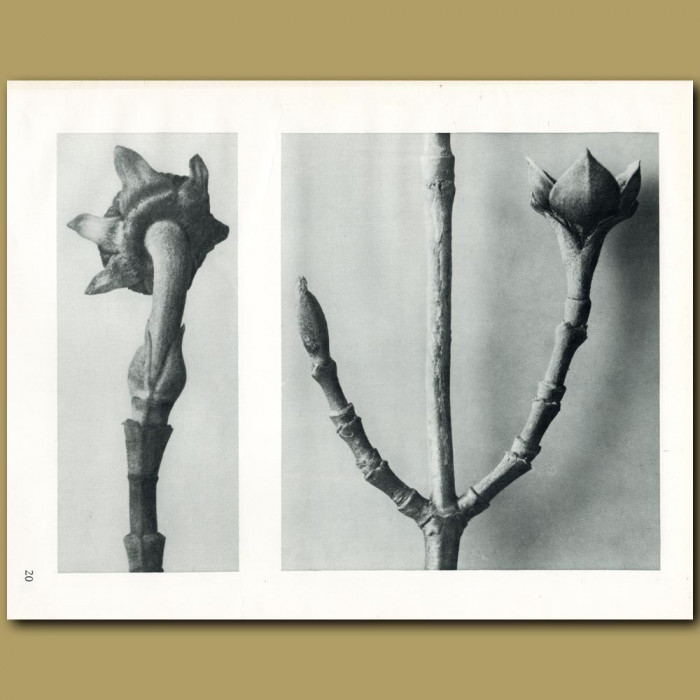 Antique print. Cornus nuttali (5x) and officinalis (8x)