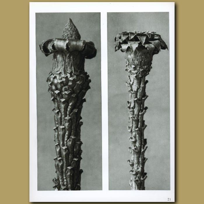 Antique print. Picea excelsa (10x)