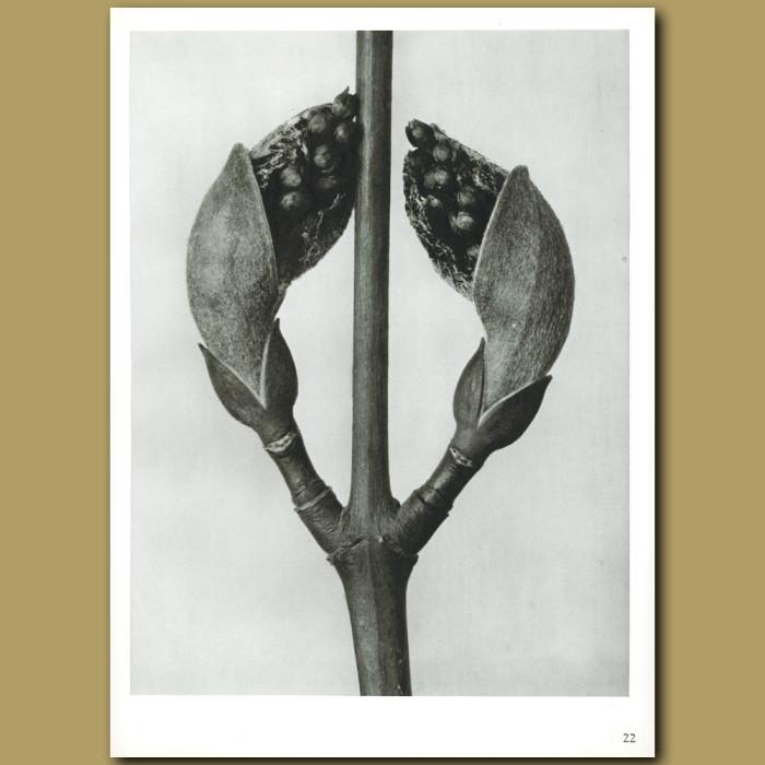 Antique print. Acer rufinerve (10x)