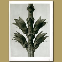 Physostegia Virginiana (15x)