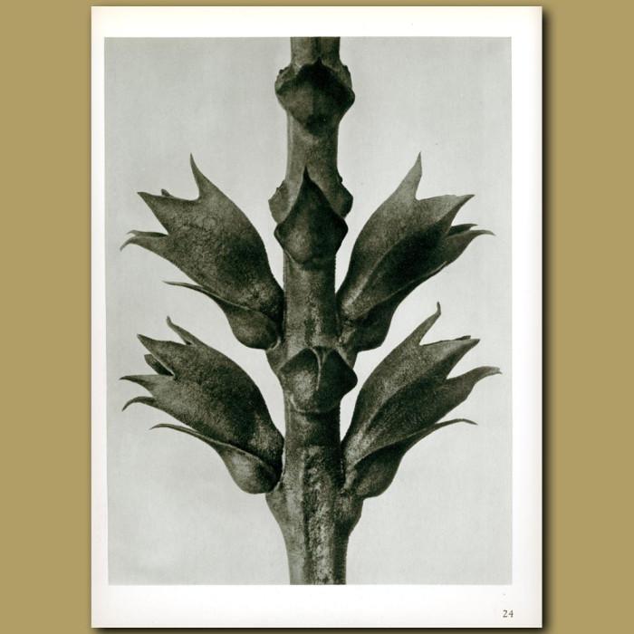 Antique print. Physostegia virginiana (15x)