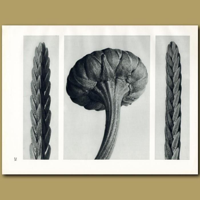 Antique print. Cassiope tetragona (12x), Chrysanthemum leucanthemum (16x)