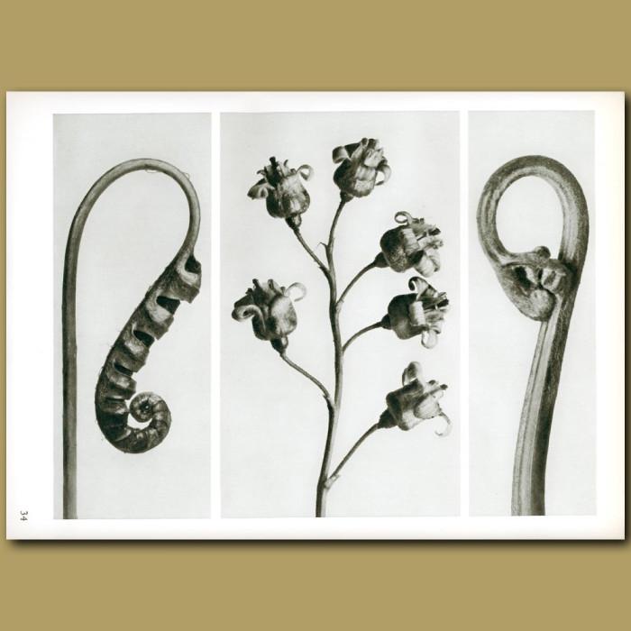 Antique print. Polypodium vulgare (7x), Ribes (5x), Pteridium aquilinium (5