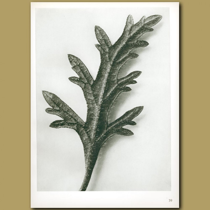 Antique print. Verbena canadensis (10x)