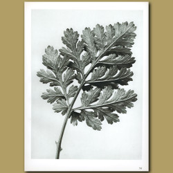 Chrysanthemum Parthenium (5x)