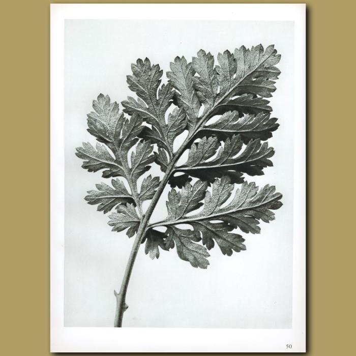 Antique print. Chrysanthemum parthenium (5x)
