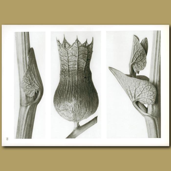 Antique print. Aristolochia clematitis (8x), Hyoscyamus niger (10x)