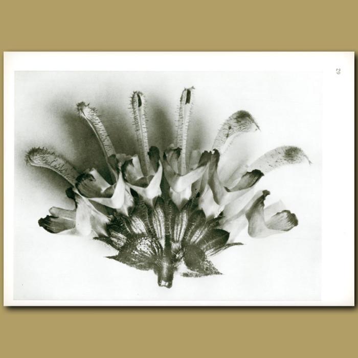 Antique print. Salvia argentea (6x)