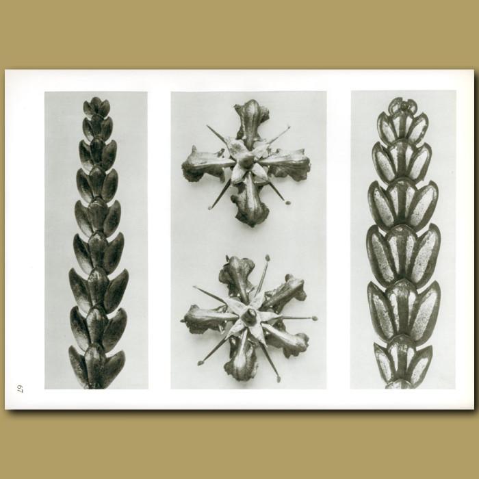 Antique print. Thujopsis dolobrata (10x) and Ruta graveolens (8x)