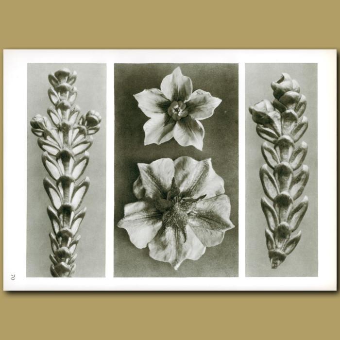 Antique print. Thujopsis dolobrata (10x) and Solanum tuberosum (5x)