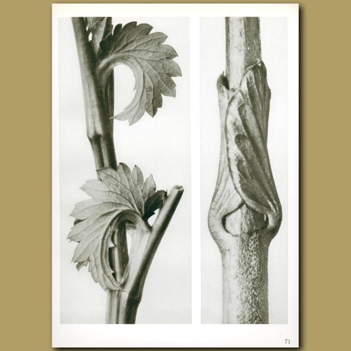 Antique print. Sanguisorba canadensis (8x) and Vincetoxicum fuscatum (15x)