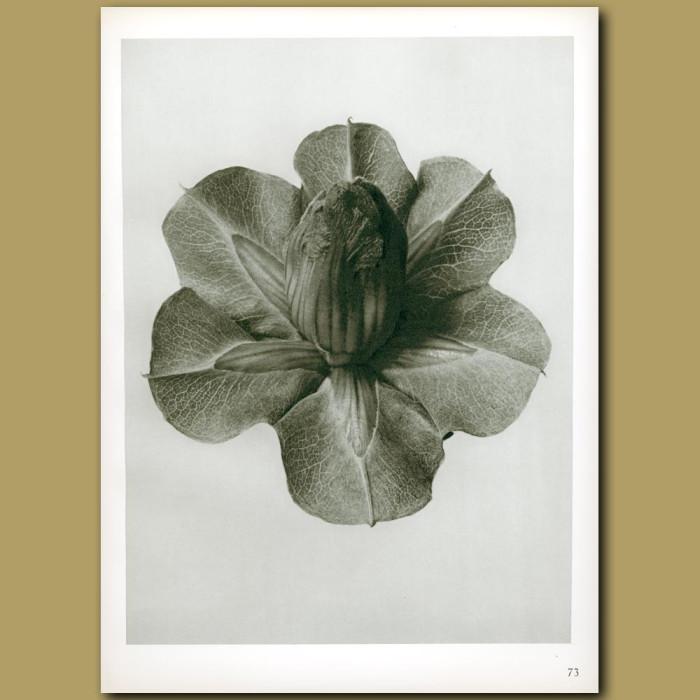 Antique print. Cobaea scandens (4x)