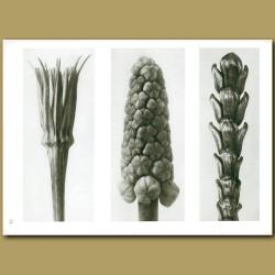 Tragopogon Porrifolius (4x), Muscari (12x), Thujopsis (10x)