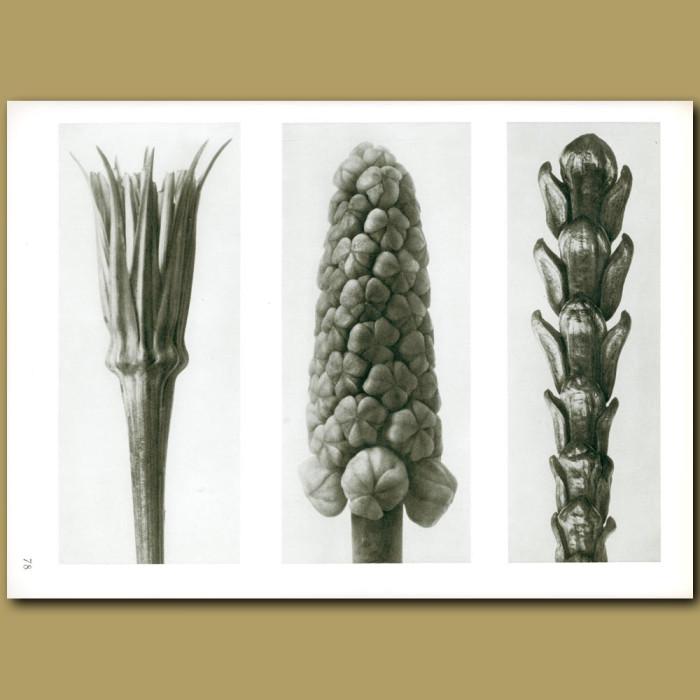 Antique print. Tragopogon porrifolius (4x), Muscari (12x), Thujopsis (10x)