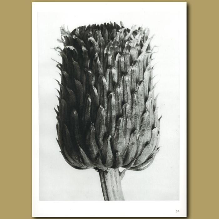 Antique print. Cirsium canum (12x)