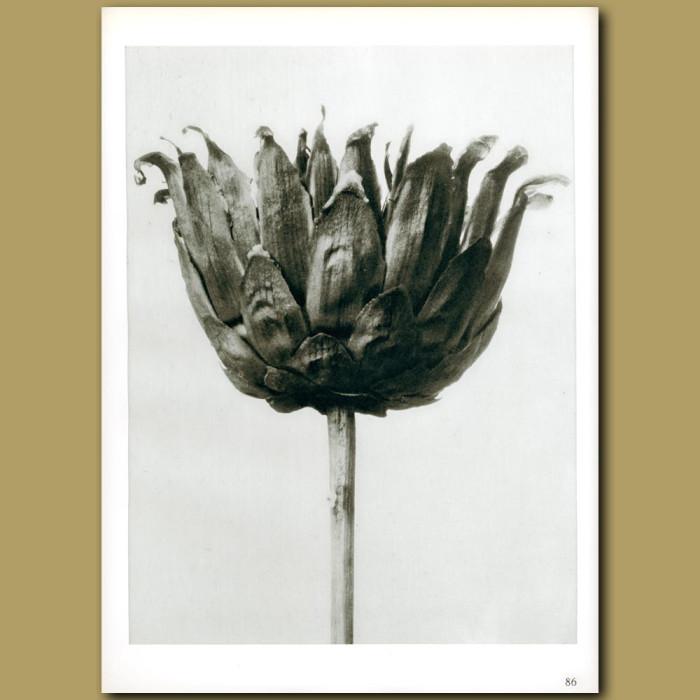 Antique print. Centaurea ruthenica (8x)