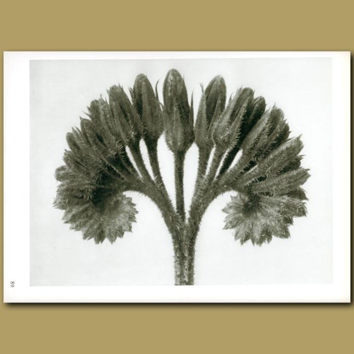 Antique print. Symphytum officinale (8x)
