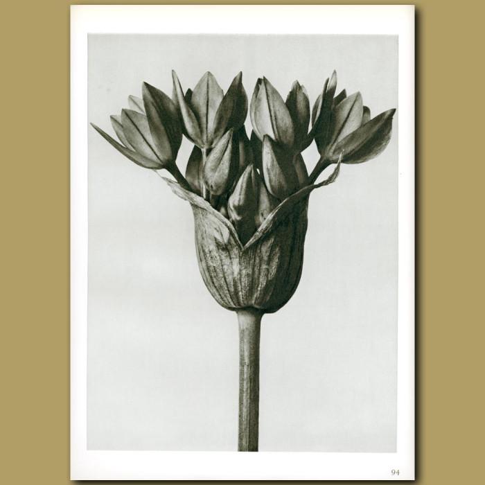 Antique print. Allium ostrowskianum (6)