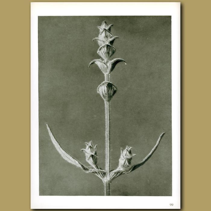 Antique print. Salvia (5x)